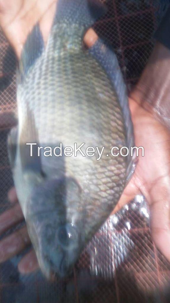 Nile Tilapia from Uganda