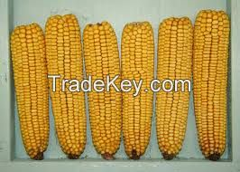 YELLOW MAIZE FOR SALE