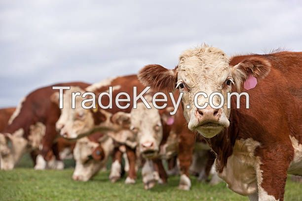Available quality cattle livestock - Pregnant Heifers - Angus - Hereford - Charolais - Limousin - Simmenthal - Hybrids