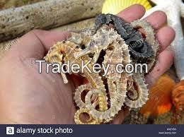 Dry sea horse , Gallstones and Arowana fishes for sale.