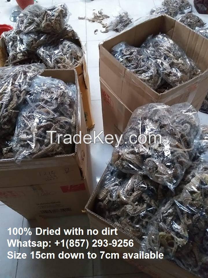 35cm-7cm Dried Seahorse Grade A