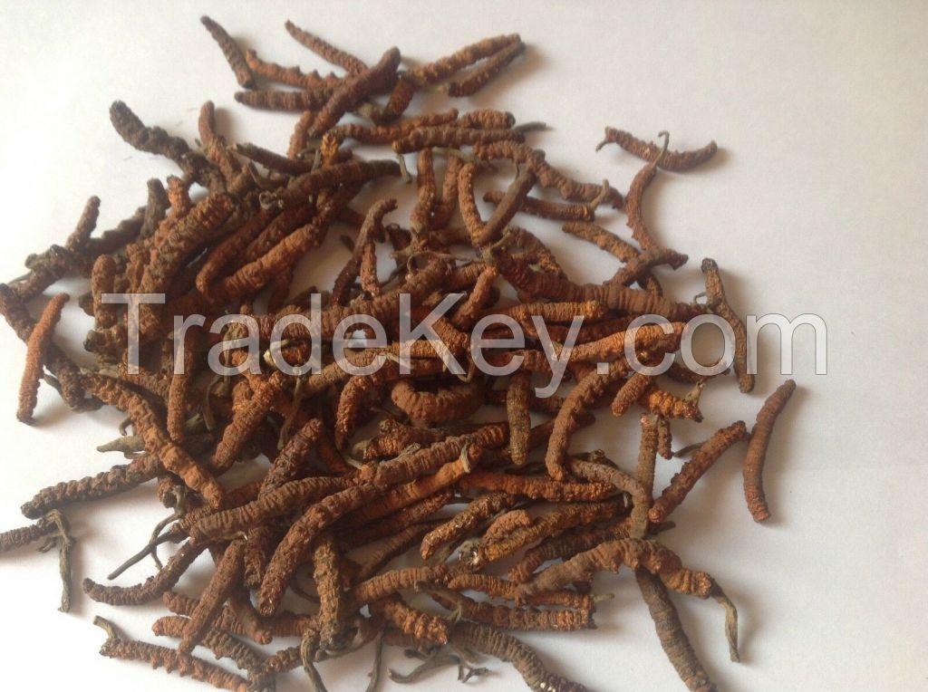 Super A+ Dried Cordyceps sinensis / Yasargumba / Caterpillar Fungus