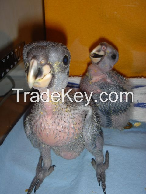 Hand raised Baby Parrots And Fertile Eggs For Sale.