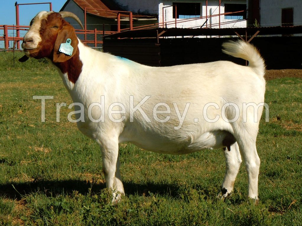 Healthy Full Blood Life Boer Goats For Sale