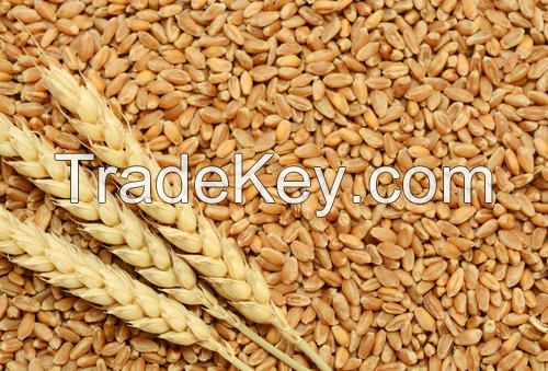 Quality Wheat for sale