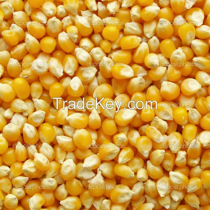 best quality Yellow maize for export