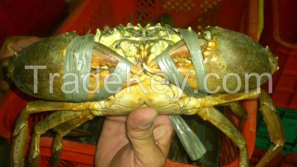 Live and Frozen Mud Crabs