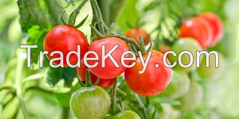 Fresh red or green thailand tomatoes