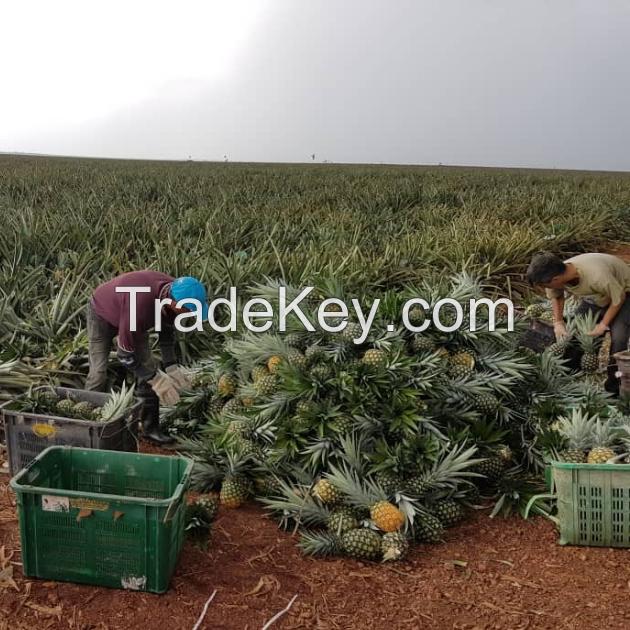 MD2 Golden Pineapple - Premium Sweet Tropical