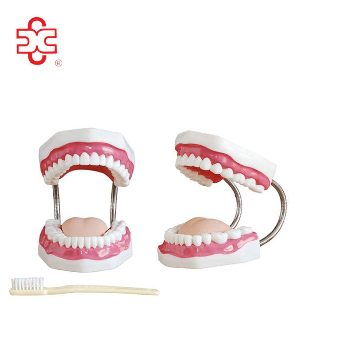 human medical dental care (tooth) model