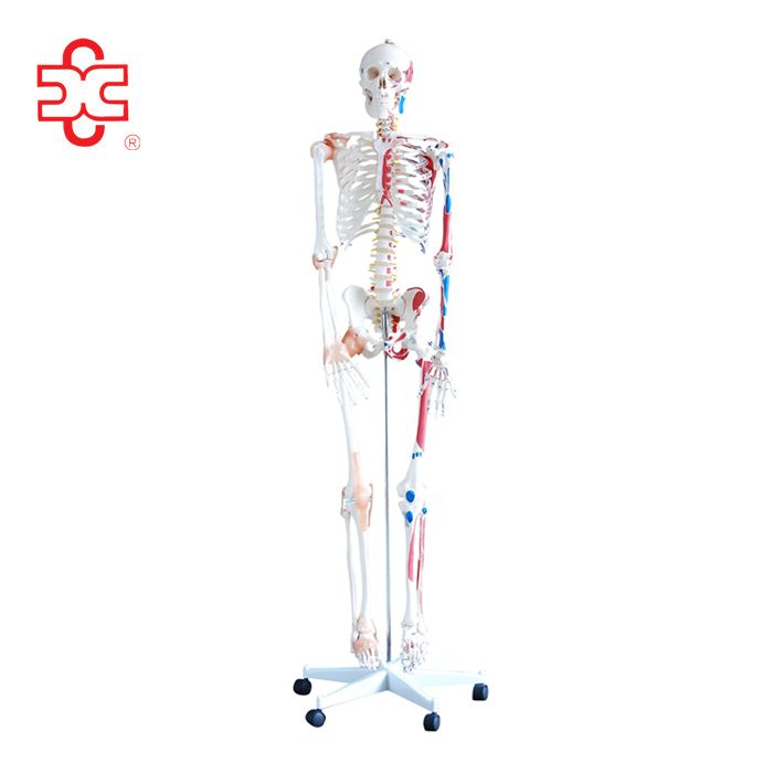 180cm tall with muscles and ligaments human skeleton models