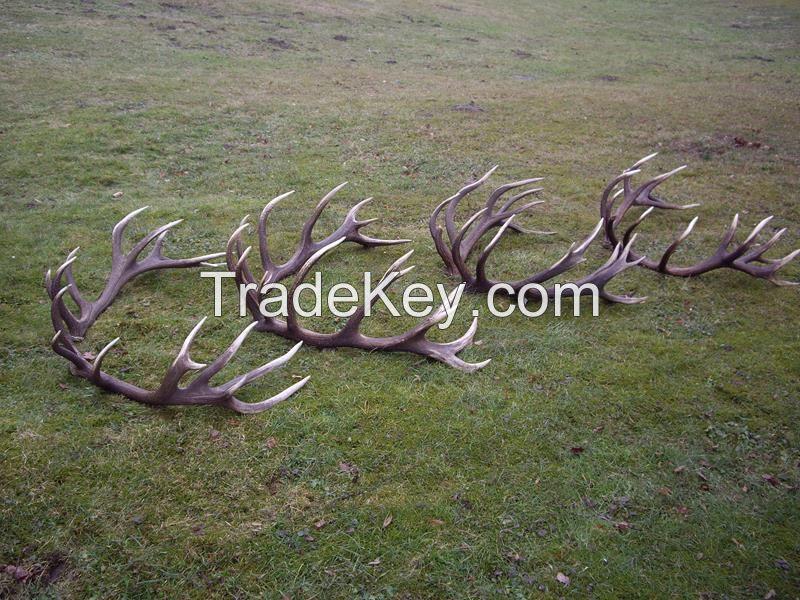 Hard deer antlers