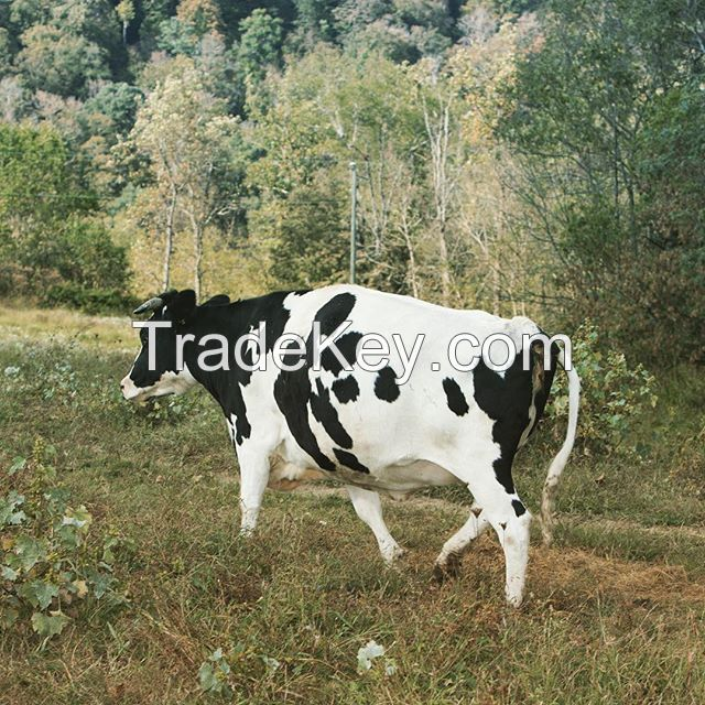 Holstein friesian cows and heifers for sale