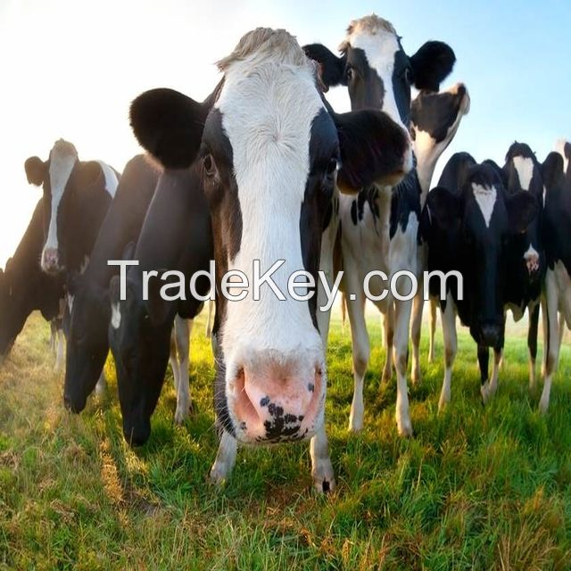 Pregnant Holstein Heifers Cow