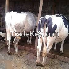 Healthy Simmental cattle/ cow
