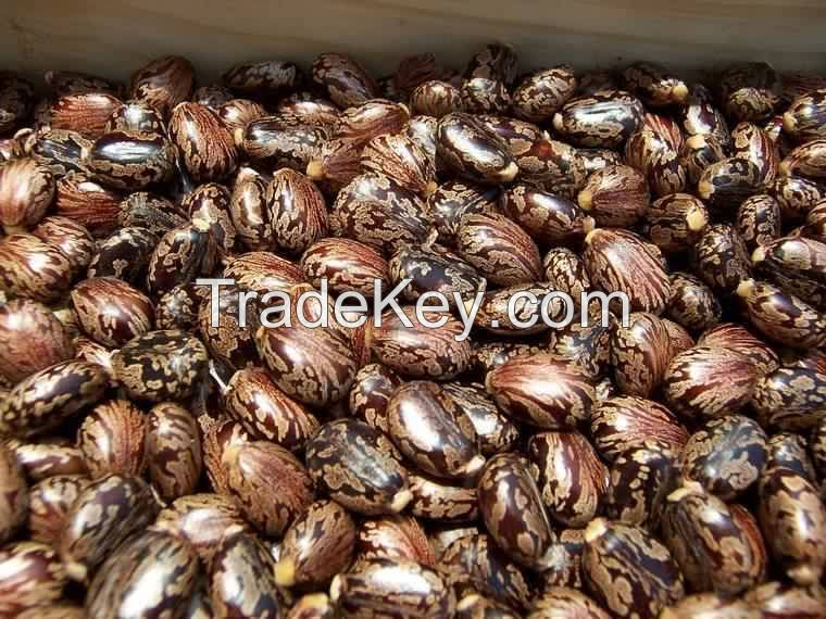 100% Natural Castor seed New Sales offer.