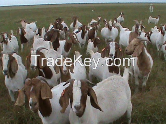 Healthy South Africa pure Breed Boer Goat,Boer Goat