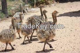 Live Ostrich Chicks,Ostrich Eggs,Ostrich Egg Shell,ostrich feather
