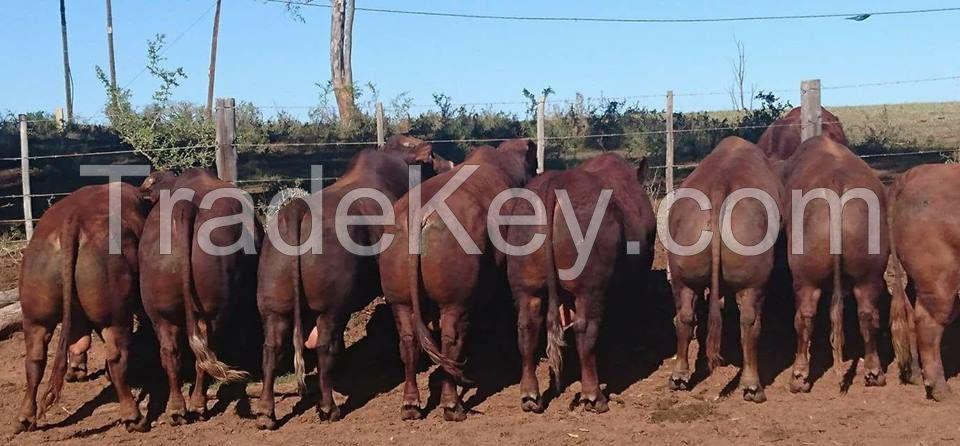 Healthy Brahman Cattle, White and Brown Brahman Cattle,Bonsmara Bulls and heifer