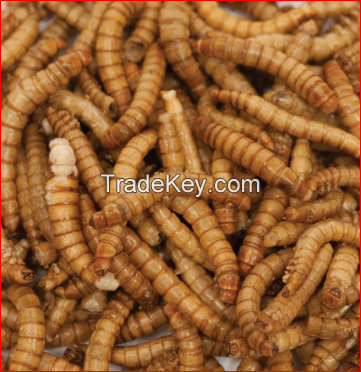Quality Dried Mealworms Pet Food Meal Worm