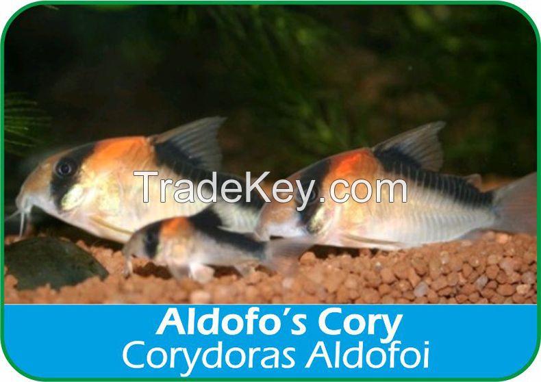 Corydoras Aldofoi