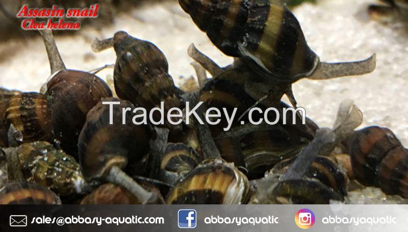 Assasin snail - clea helena