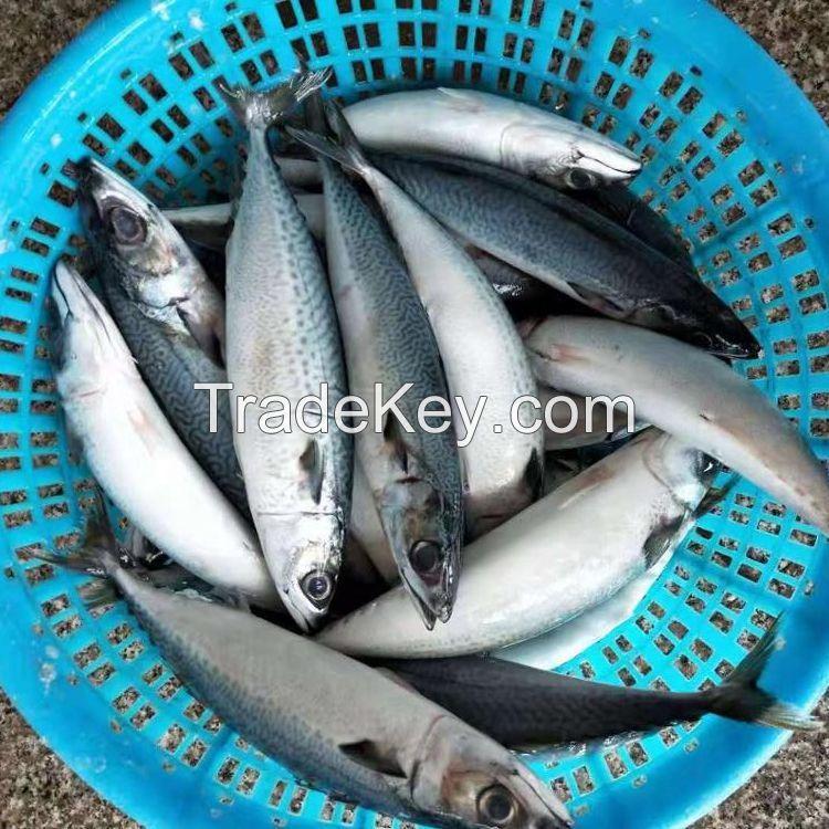 Fish Frozen Style Pacific Mackerel Food