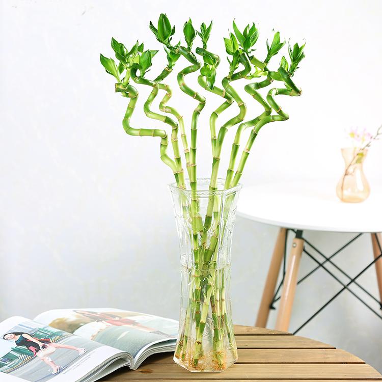 Dracaena Sanderiana spiral Lucky Bamboo