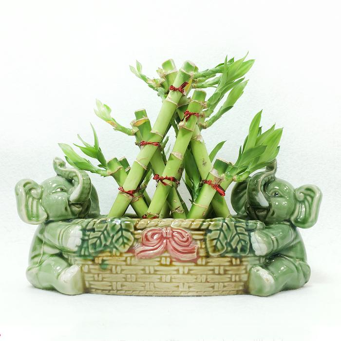 Dracaena Sanderiana pyramid shape Lucky Bamboo