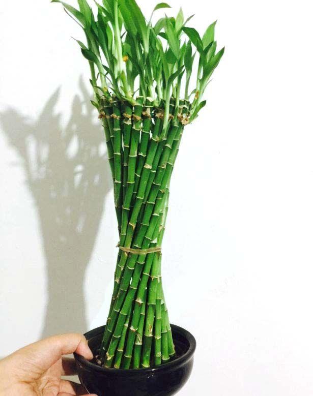 Dracaena Sanderiana braid shape Lucky Bamboo