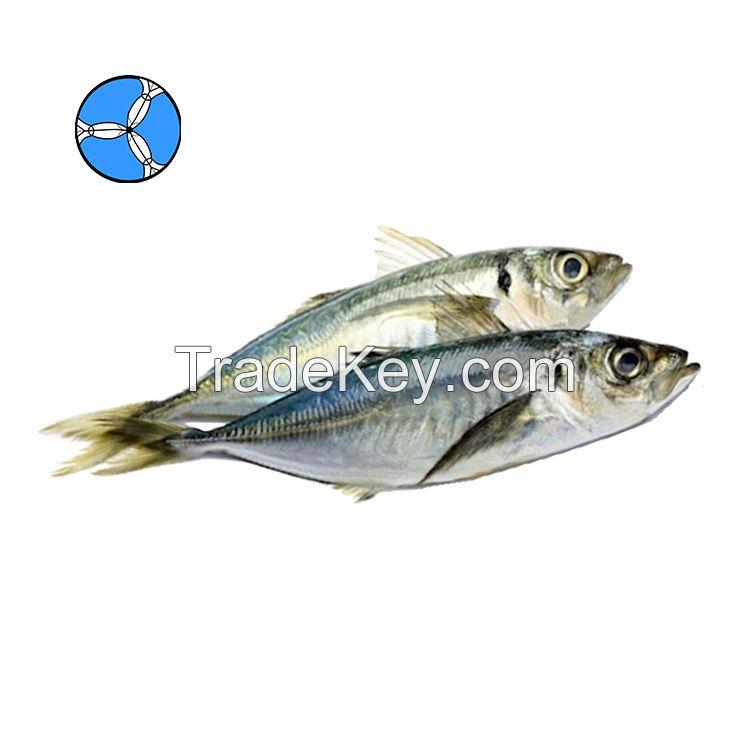 SANFENG SEAFOOD Frozen Horse Mackerel Frozen Fish for Thai Round scad export