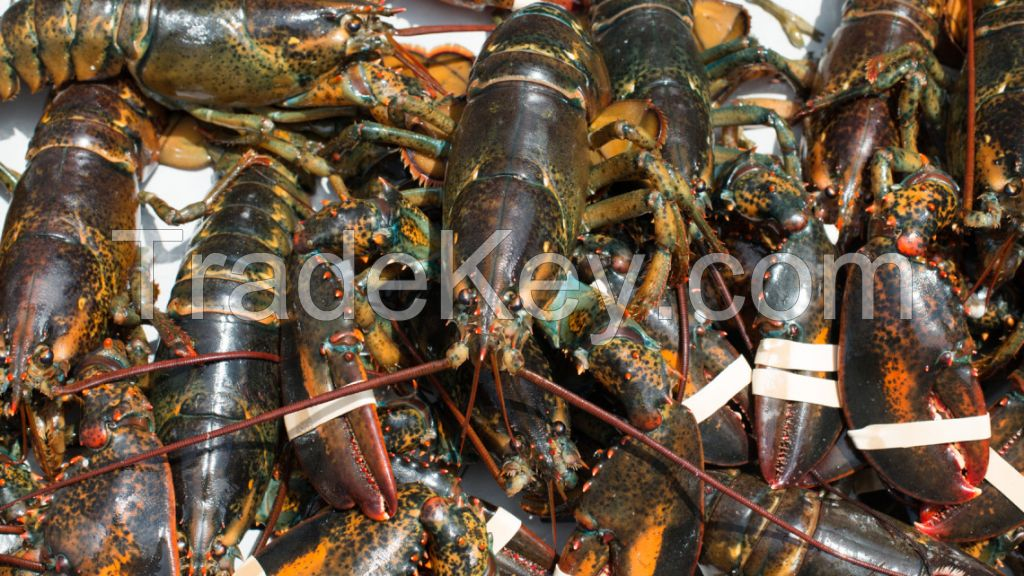 Buy Lobsters Online All Year Round