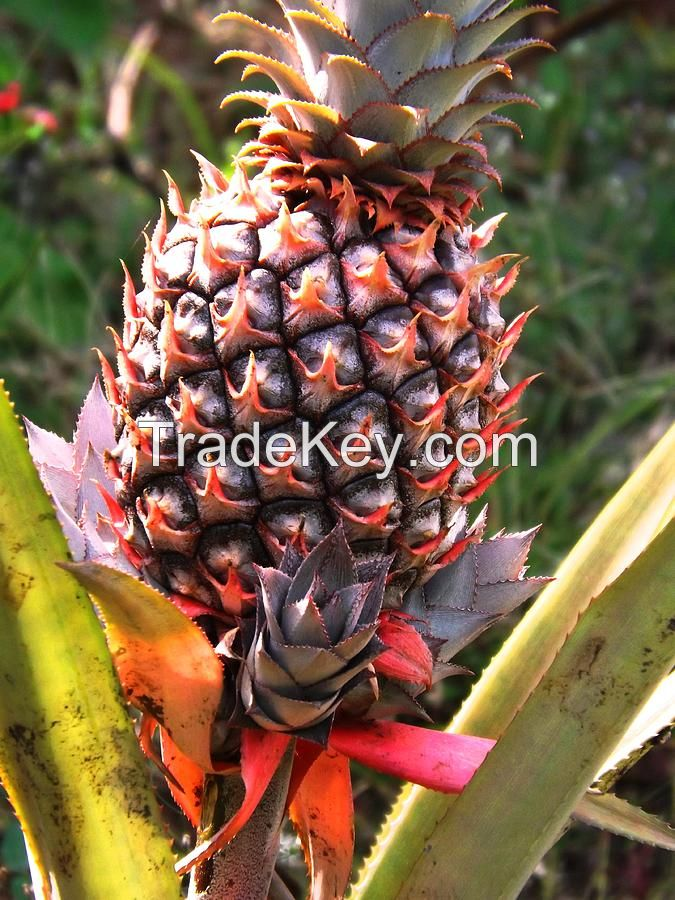 Premium Quality Ugandan Pineapples Bulk Quantity