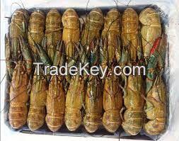 Fresh Redclaw crayfish