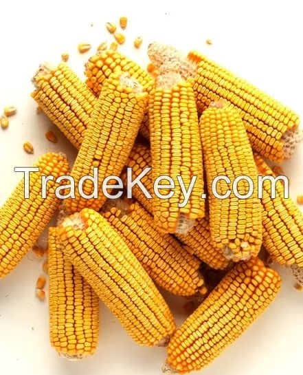 Non GMO Yellow Corn and White Corn
