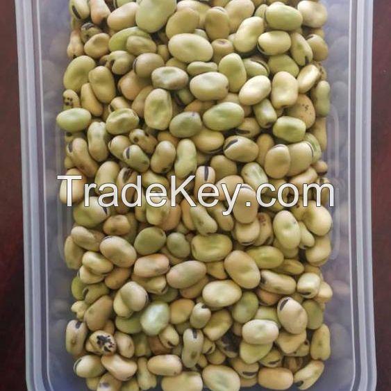 high quality dry Broad Bean fava bean faba bean