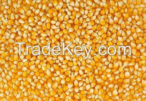 Yellow Maize/Corn