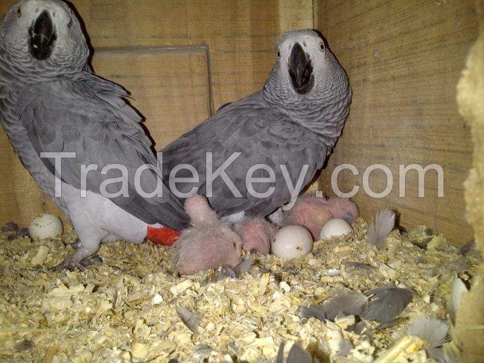 Available Fertile Parrots Eggs And Parrots