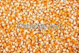 Yellow Corn - Maize