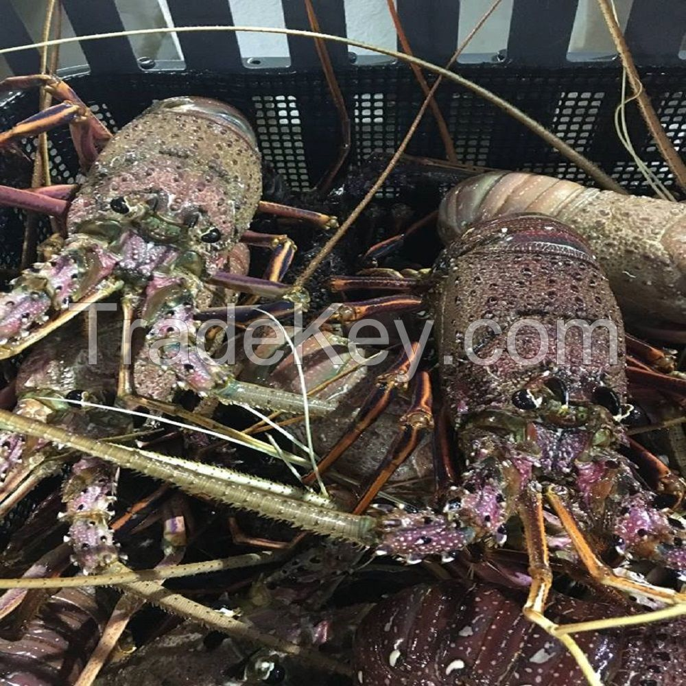 Fresh Lobster/Frozen Lobster /Live Lobster For sale