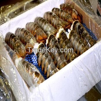 Cold water lobster/Frozen Lobster/Fresh ALIVE Lobster (Ready for Export)