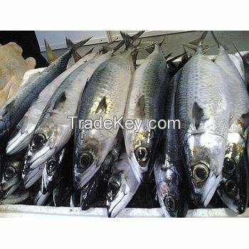 IQF 80-100G Sea Frozen Whole Round Narrow-barred Spanish mackerel