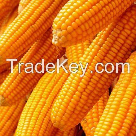 Dry Maize/ Dried Yellow Corn/Dried Sweet Corn
