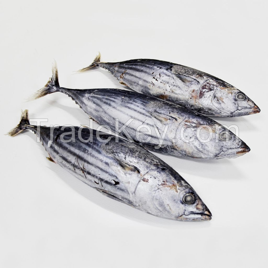 IQF Freezing Process and Piece Shape Frozen Tuna SkipJack Frozen Bonito Fish