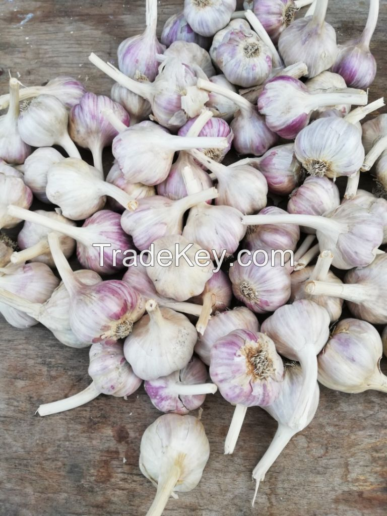 Fresh White Galic /Red Garlic