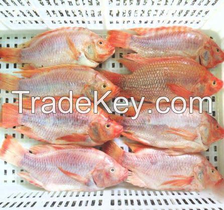 best quality frozen tilapia fish