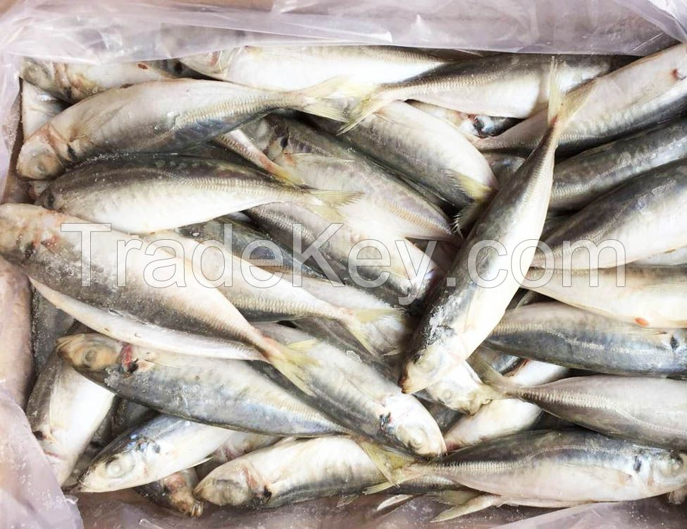 Seafood Fresh and Frozen Yellow tail Whole Round
