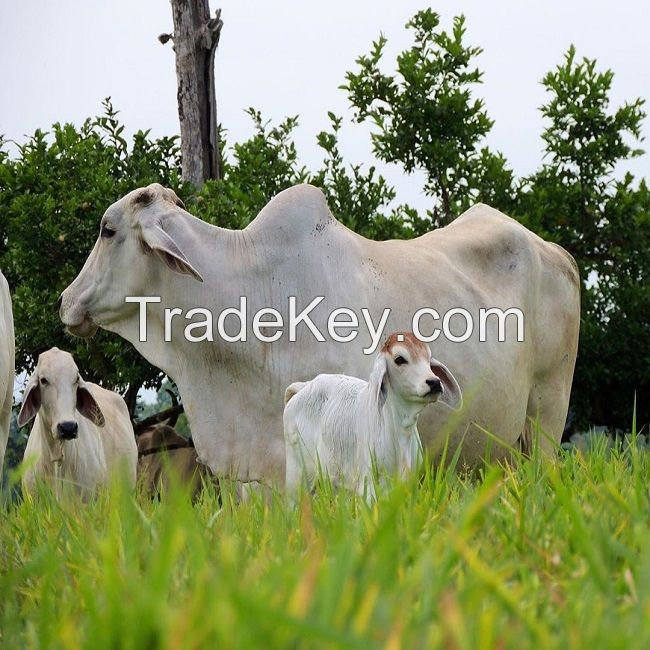 Brahman bulls cow
