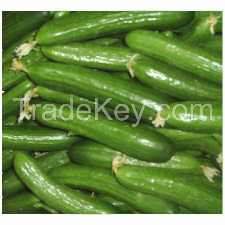 High Quality Fresh Cucumber
