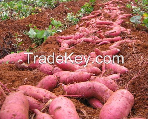 High Quality Fresh Sweet Potatoes from South Africa